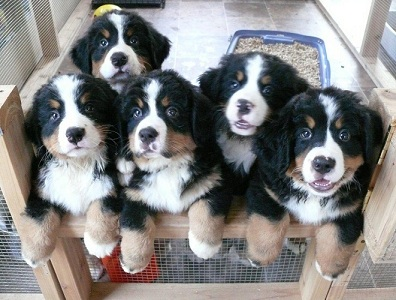 7 week old Bernese Mountain Dog puppies