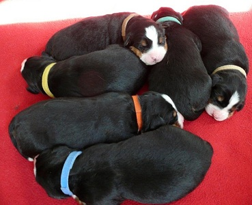 Image of Bernese Mountain Dog puppies