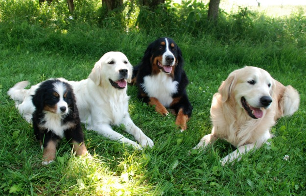 Image of Glenbern Golden Retrievers & Bernese Mountain Dogs