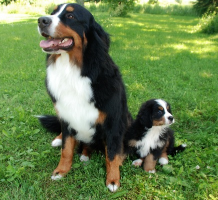 ... Bernese Mountain Dog Bernese Mountain Dog Breed Information 86388 Jpg