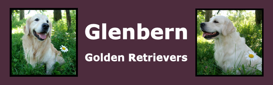 Glenbern Golden Retrievers & Bernese Mountain Dogs